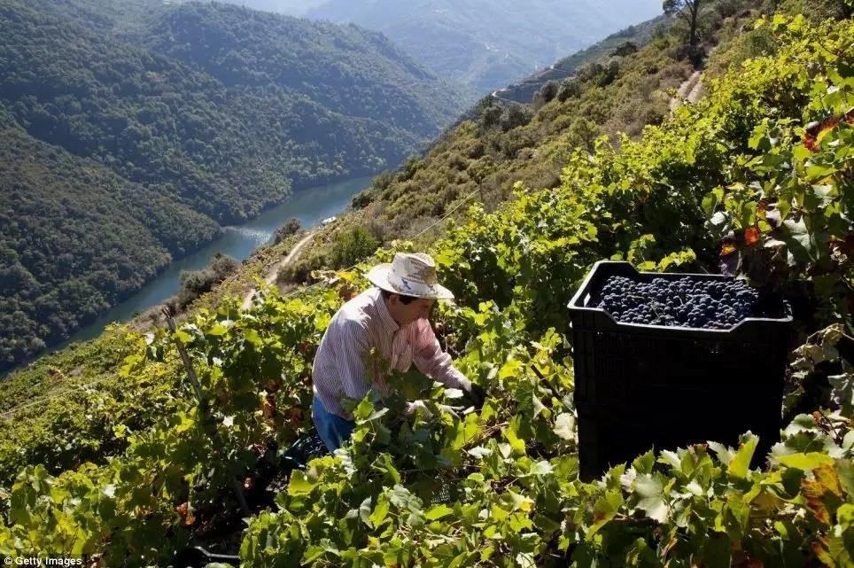 """千呼万唤始出来!两年后西班牙葡萄酒标上就可以标注""""单一园""""啦!"""