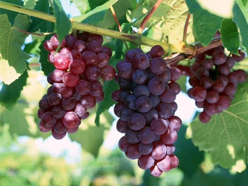 葡萄酒知识 人人都该知道的葡萄酒小知识