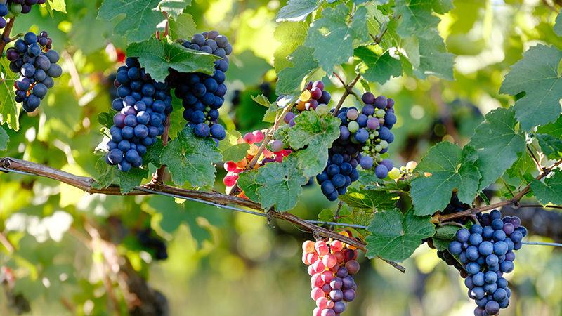 酿造世界最贵葡萄酒的黑比诺,到底有何特别之处?